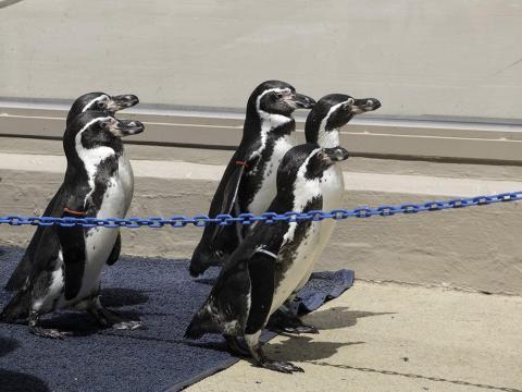 2年前に行った下田水族館のケープペンギン